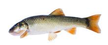 Fish   Hornyhead Chub  (Nocomis Biguttatus)   Isolated On White