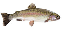 Rainbow Trout On White Backgro...