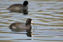 Two American Coots Swimming Ac...