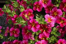 Purple And Pink Calibrachoa Su...