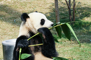 Fototapeta Giant panda eating