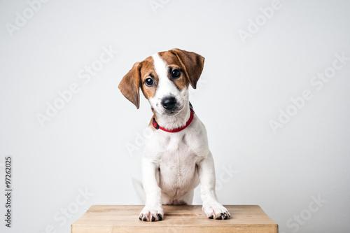 Fotografie, Obraz  Dog Jack Russell Terrier