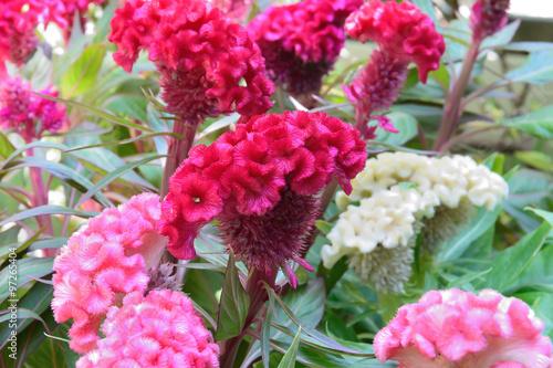 Fotografie, Obraz  cockscomb celosia red flowers, selective focus