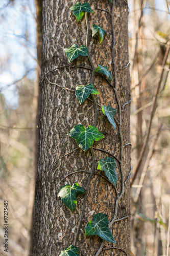 Edera Rampicante Su Tronco Di Albero Buy This Stock Photo And