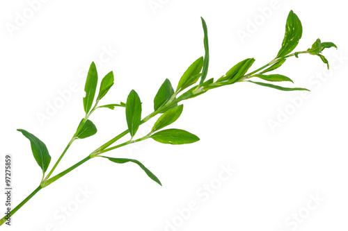 Fototapeta Medicinal plant. Knotweed or polygonum aviculare obraz na płótnie