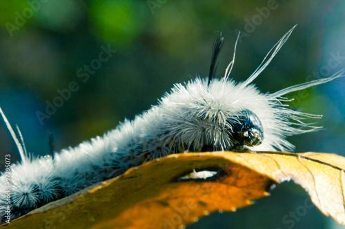 Fotografia, Obraz  White Hickory Tussock Moth Caterpillar
