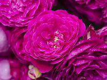 Rose Geschwind's Schönste