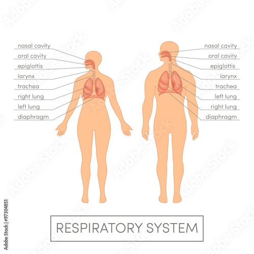 Fototapeta Respiratory system vector obraz na płótnie
