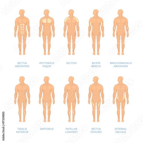 Fotografie, Tablou  Human muscular system