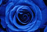 Closeup of a Blue Rose