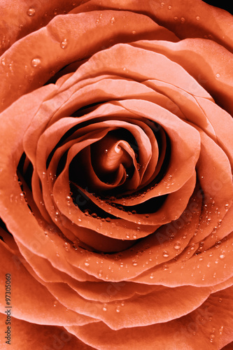 Closeup of a Yellow-Red  Rose - 97305060