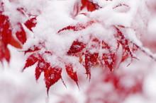 Red Maple Tree Under Snow