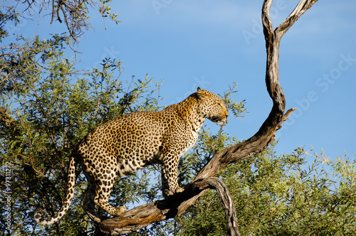 Tuinposter Luipaard Leopard on a Branch - Namibia