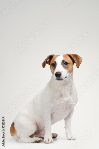 Stampa su Tela Young dog Jack Russell terrier on the gray background
