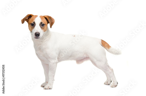 Fototapeta  Young dog Jack Russell terrier staying on the white background