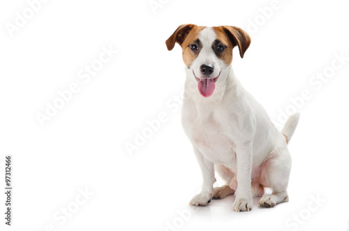 Obraz na plátně Young dog Jack Russell terrier with his tongue out on the white background
