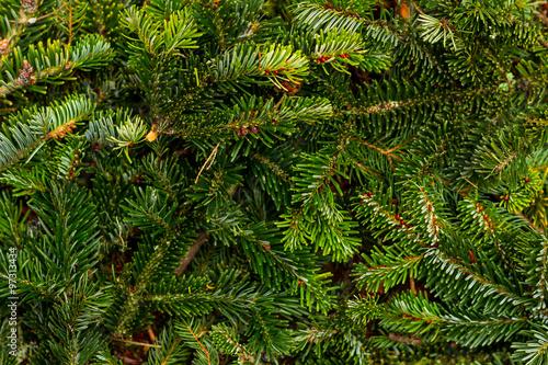Fotografie, Obraz  Pine branches