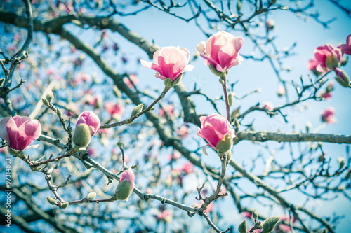 Fotografie, Obraz  Magnolia Tulip Tree