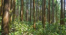 Dense Subtropical Forest In Su...