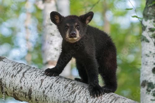 Fotografie, Tablou  Black Bear Cub (Ursus americanus) Looks Out from Branch