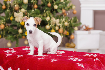 Cute Jack Russel Terrier puppy dog sitting on the stool in the C