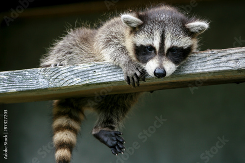 Baby raccoon ventures from nest Wallpaper Mural