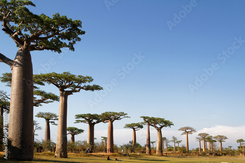 Printed kitchen splashbacks Baobab Allée des Baobabs