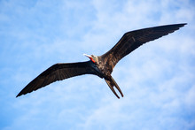 A Adult Male A Frigate Bird (F...