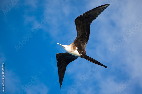 Fotomural A magnificent frigate bird (Fregata magnificens) flying overhead, Galapagos Isla