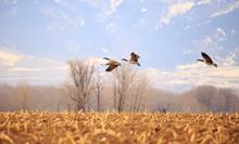 Geese In Flight.