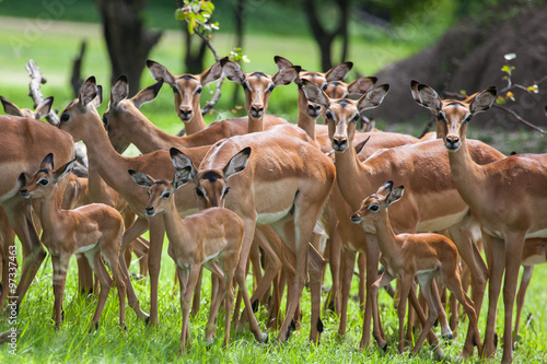 Poster Antilope A herd of female and young impalas in Mosi-oa Tunya Nation Park, Zambia, Africa