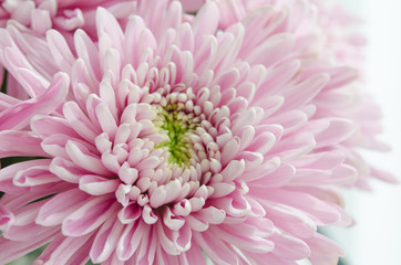 purple pastel daisy flower close up petals