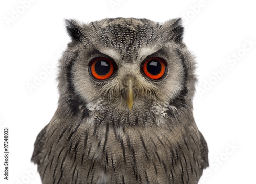 Fotobehang Uil Close-up of a Northern white-faced owl - Ptilopsis leucotis (1 year old) in front of a white background