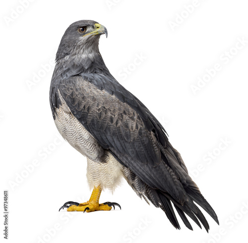 Chilean blue eagle - Geranoaetus melanoleucus (17 years old) in