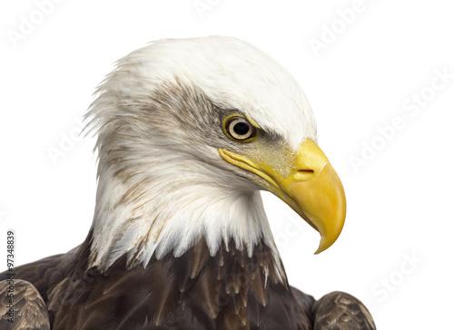 Poster Aigle Close-up of a Bald eagle - Haliaeetus leucocephalus (12 years ol