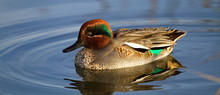Duck Teal On The Water