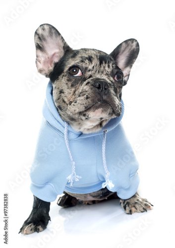 Staande foto Franse bulldog dressed puppy french bulldog