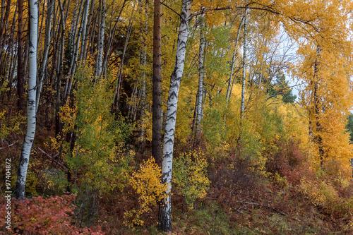 Poster Berkbosje The autumn wood on Tserkovk's the mountain