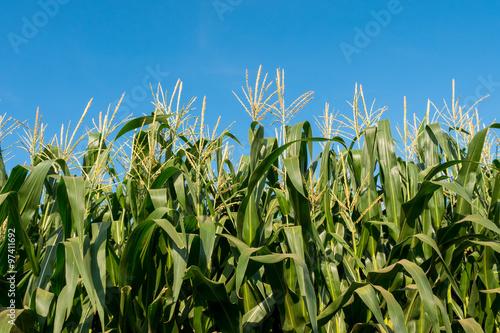 Canvas Print corn field