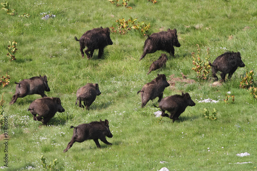 Poster Chasse Wild boar drove runing