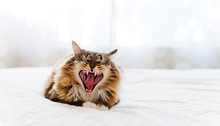 Cat Yawning With Mouth Wide Op...