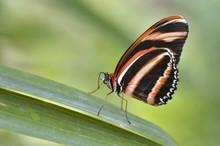 Macro Of Milkweed Butterfly (L...