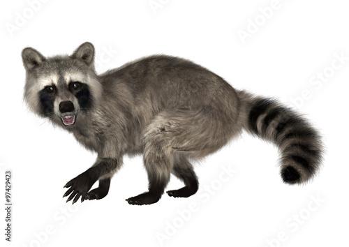 Fototapety, obrazy: Raccoon on White