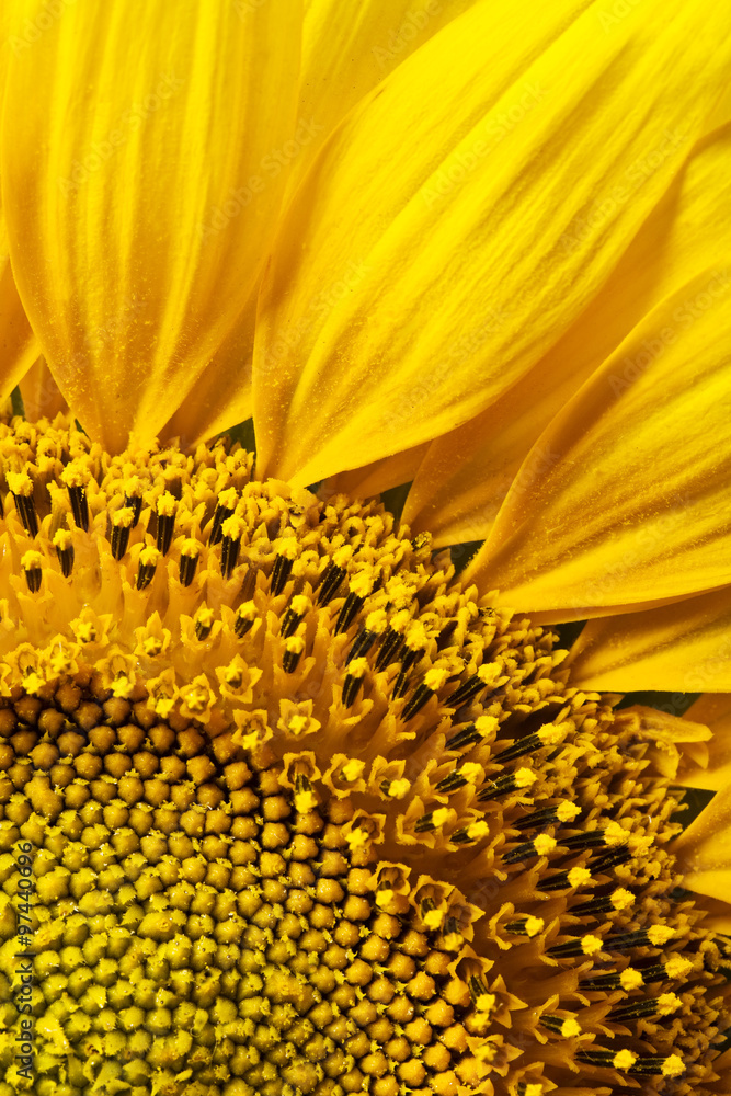 Close up view of the yellow sunflower