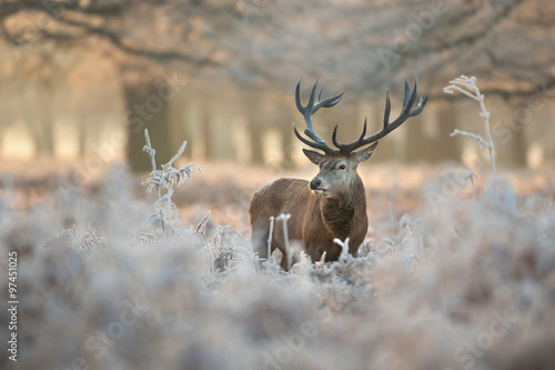 Photo Red deer in winter