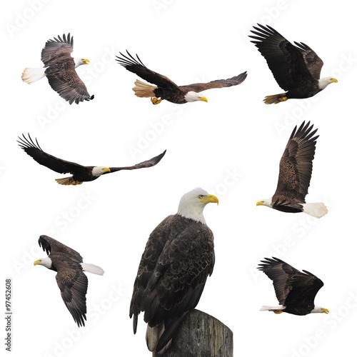 Poster Aigle Set bald eagles.