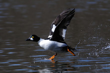 Male Goldeneye Running At Pond Water Surface