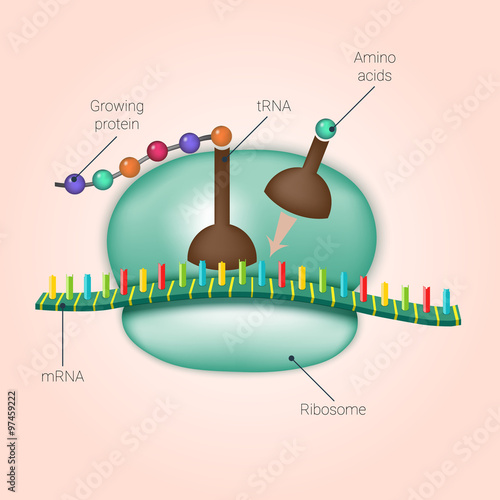 Biosynthesis of protein on ribosome in vector Wallpaper Mural