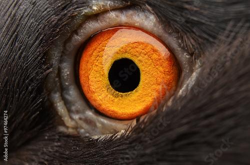 pigeon eye