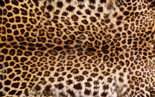 Canvas Prints Leopard Real Leopard Skin